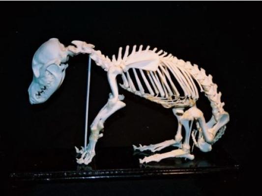 有利可图:3D打印犬类骨骼模型瞄准兽医学校
